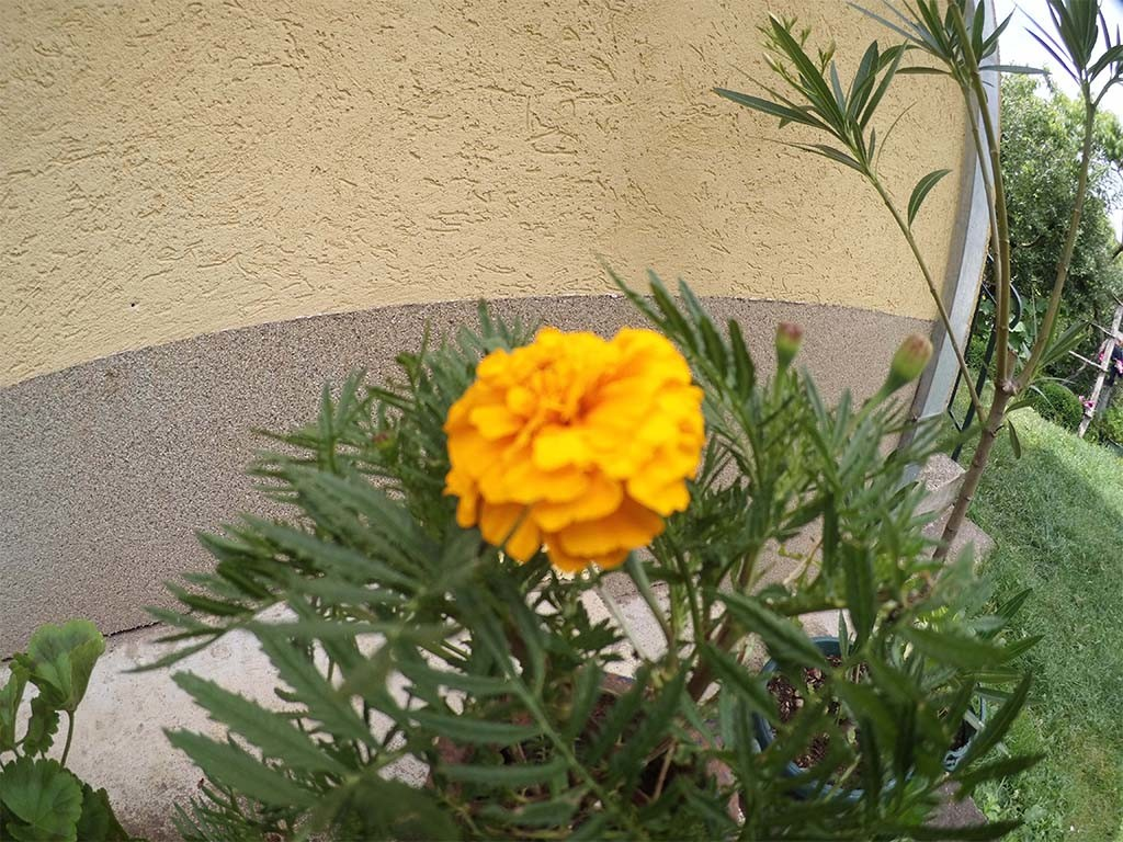 Yellow flower close up Blackview Hero 1 Test (compressed quality)