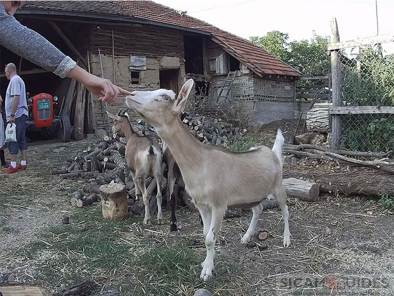 GITUP GIT 1 Camera Photography sample 4 Goat
